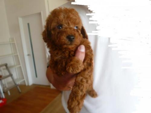 トイプードルの子犬(ID:1271211010)の1枚目の写真/更新日:2018-05-07