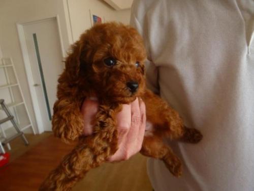トイプードルの子犬(ID:1271211010)の3枚目の写真/更新日:2018-08-19