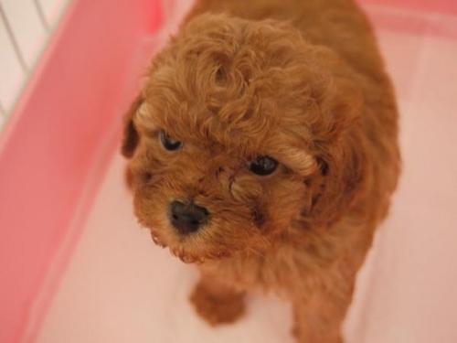 トイプードルの子犬(ID:1271211013)の1枚目の写真/更新日:2018-08-27