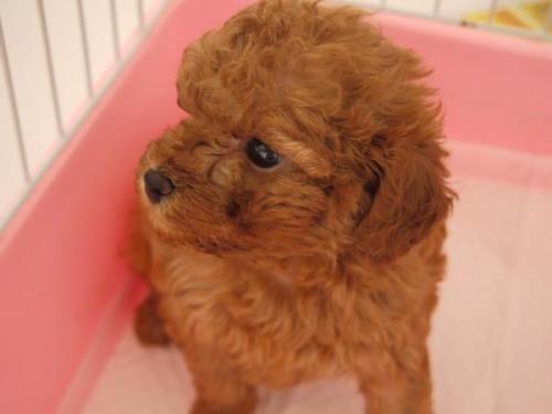 トイプードルの子犬(ID:1271211013)の2枚目の写真/更新日:2018-08-27