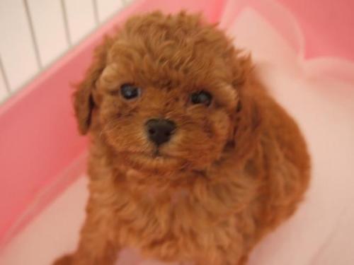 トイプードルの子犬(ID:1271211013)の3枚目の写真/更新日:2018-08-27