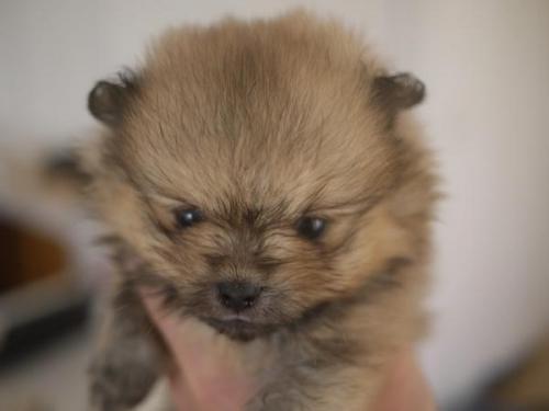 ポメラニアンの子犬(ID:1271211014)の3枚目の写真/更新日:2018-10-16