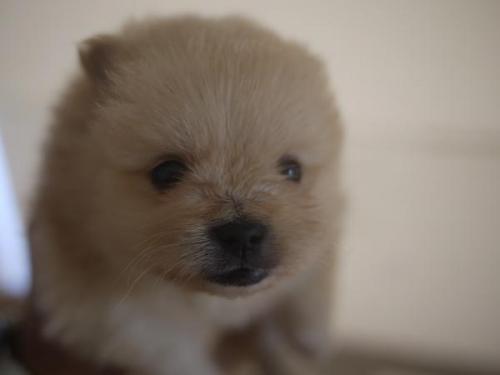 ポメラニアンの子犬(ID:1271211015)の1枚目の写真/更新日:2018-10-16