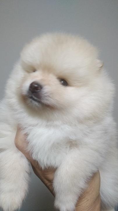 ポメラニアンの子犬(ID:1271211016)の1枚目の写真/更新日:2018-11-20