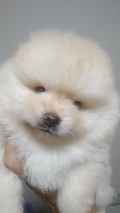 ポメラニアンの子犬(ID:1271211016)の2枚目の写真/更新日:2018-11-20