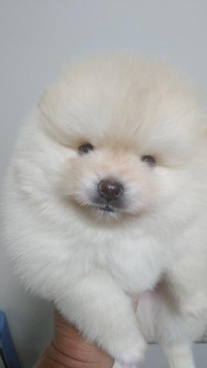 ポメラニアンの子犬(ID:1271211016)の3枚目の写真/更新日:2018-11-20