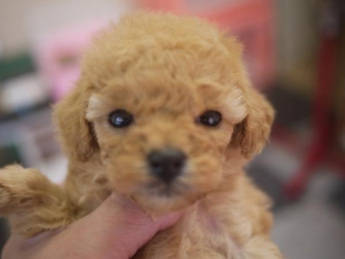 トイプードルの子犬(ID:1271211017)の1枚目の写真/更新日:2018-12-10
