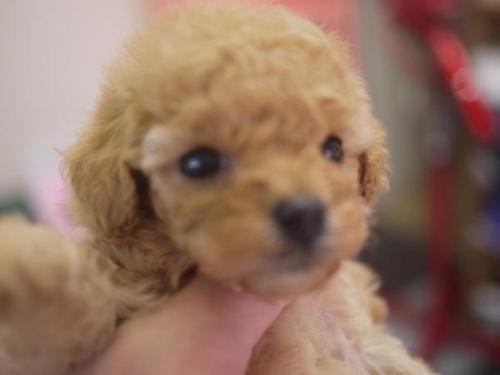トイプードルの子犬(ID:1271211017)の2枚目の写真/更新日:2018-12-10