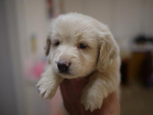ミニチュアダックスフンド(ロング)の子犬(ID:1271211018)の2枚目の写真/更新日:2019-05-21