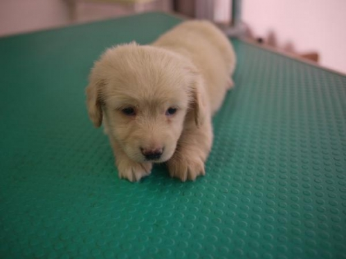 ミニチュアダックスフンド(ロング)の子犬(ID:1271211018)の3枚目の写真/更新日:2019-05-21