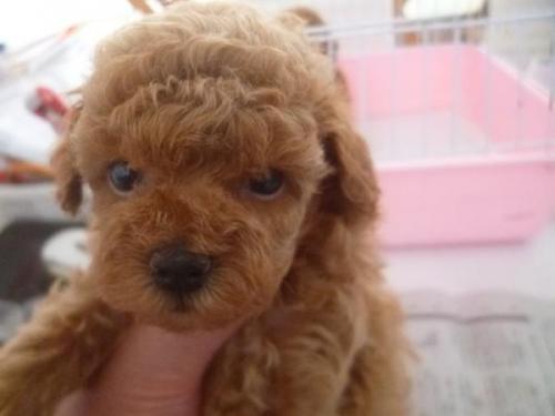 トイプードルの子犬(ID:1271211019)の1枚目の写真/更新日:2019-08-30