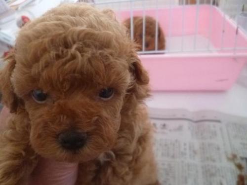 トイプードルの子犬(ID:1271211019)の2枚目の写真/更新日:2019-08-30