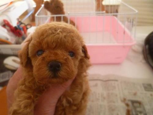 トイプードルの子犬(ID:1271211019)の3枚目の写真/更新日:2019-08-30