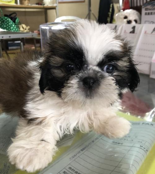 シーズーの子犬(ID:1271311001)の1枚目の写真/更新日:2018-05-28