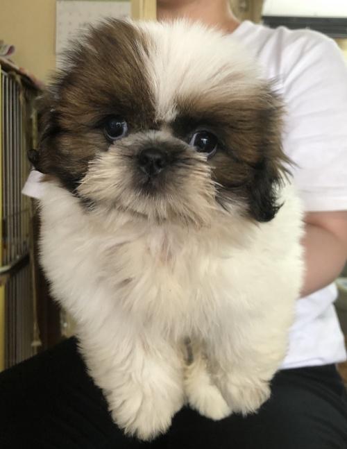 シーズーの子犬(ID:1271311002)の1枚目の写真/更新日:2018-05-28
