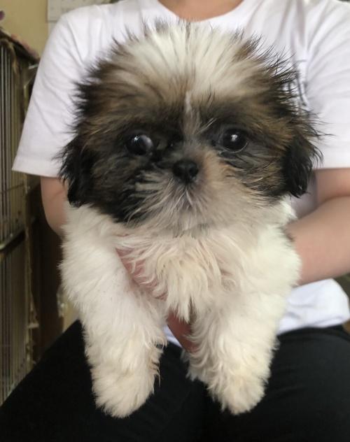 シーズーの子犬(ID:1271311003)の1枚目の写真/更新日:2018-05-28