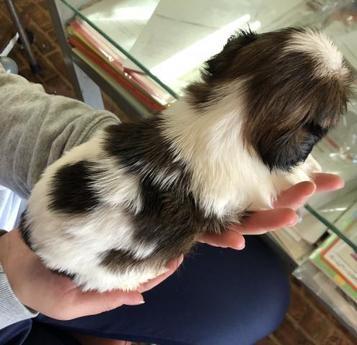 シーズーの子犬(ID:1271311003)の3枚目の写真/更新日:2018-05-28