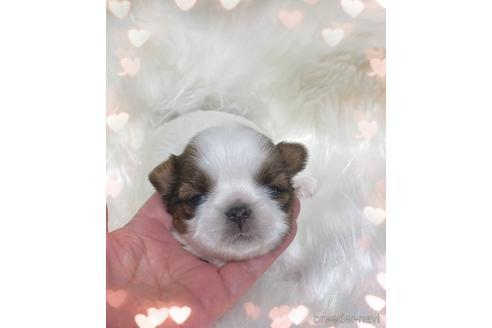 シーズーの子犬(ID:1271311005)の1枚目の写真/更新日:2021-07-10