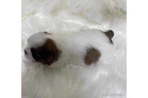 シーズーの子犬(ID:1271311005)の2枚目の写真/更新日:2018-06-12
