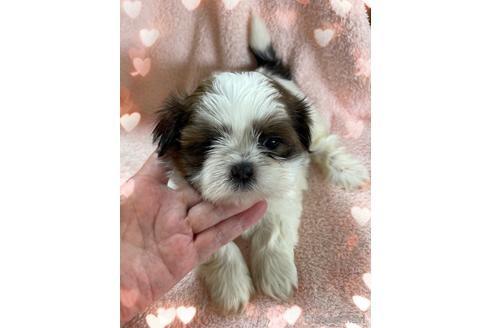 シーズーの子犬(ID:1271311006)の1枚目の写真/更新日:2018-07-12