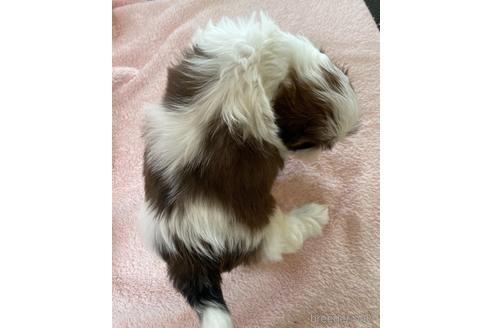 シーズーの子犬(ID:1271311006)の2枚目の写真/更新日:2018-01-21
