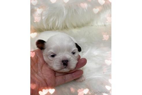 シーズーの子犬(ID:1271311007)の1枚目の写真/更新日:2021-07-10
