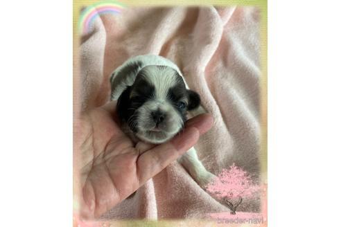 シーズーの子犬(ID:1271311009)の1枚目の写真/更新日:2018-07-12