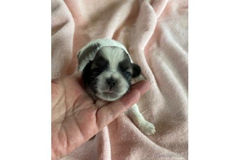 シーズーの子犬(ID:1271311009)の3枚目の写真/更新日:2021-09-11