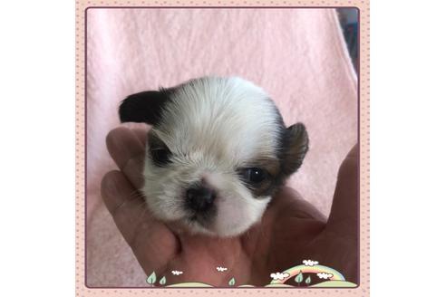シーズーの子犬(ID:1271311010)の1枚目の写真/更新日:2018-06-18