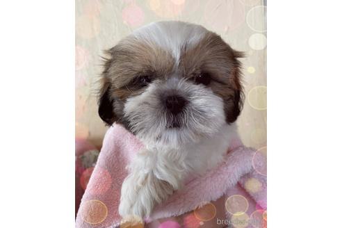 シーズーの子犬(ID:1271311012)の1枚目の写真/更新日:2018-03-14