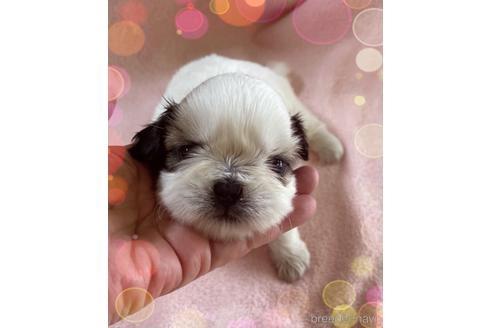 シーズーの子犬(ID:1271311014)の1枚目の写真/更新日:2021-10-19