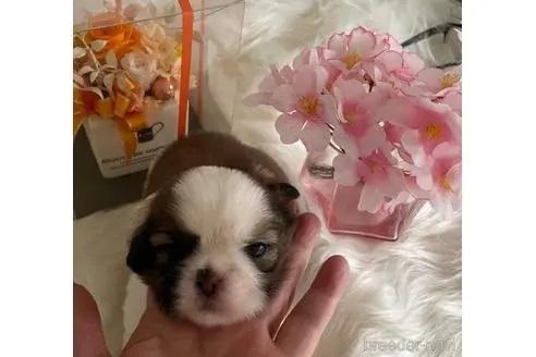 シーズーの子犬(ID:1271311015)の1枚目の写真/更新日:2018-03-14
