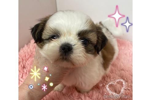 シーズーの子犬(ID:1271311018)の1枚目の写真/更新日:2018-06-18