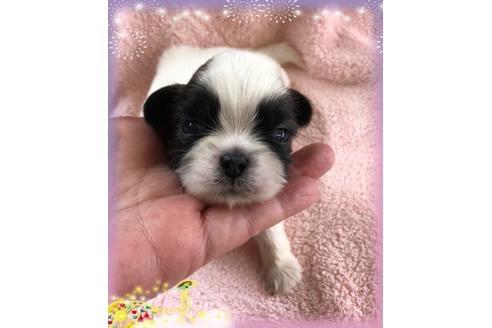 シーズーの子犬(ID:1271311019)の1枚目の写真/更新日:2018-05-07