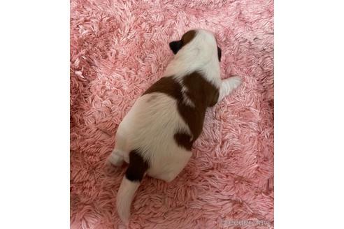 シーズーの子犬(ID:1271311020)の2枚目の写真/更新日:2018-05-07