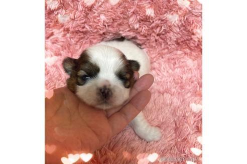 シーズーの子犬(ID:1271311021)の1枚目の写真/更新日:2018-05-07
