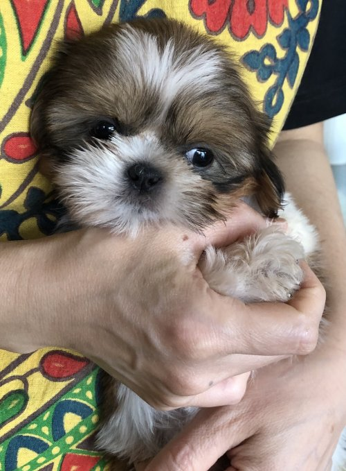シーズーの子犬(ID:1271311022)の2枚目の写真/更新日:2018-05-07