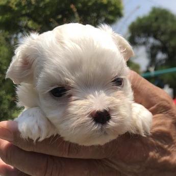 マルチーズの子犬(ID:1271311027)の1枚目の写真/更新日:2018-06-28