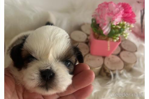シーズーの子犬(ID:1271311028)の1枚目の写真/更新日:2018-06-28