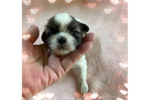 シーズーの子犬(ID:1271311030)の1枚目の写真/更新日:2018-08-09