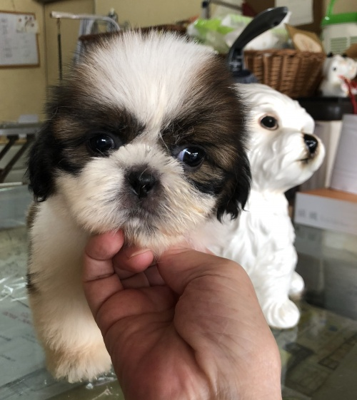 シーズーの子犬(ID:1271311034)の1枚目の写真/更新日:2018-08-09