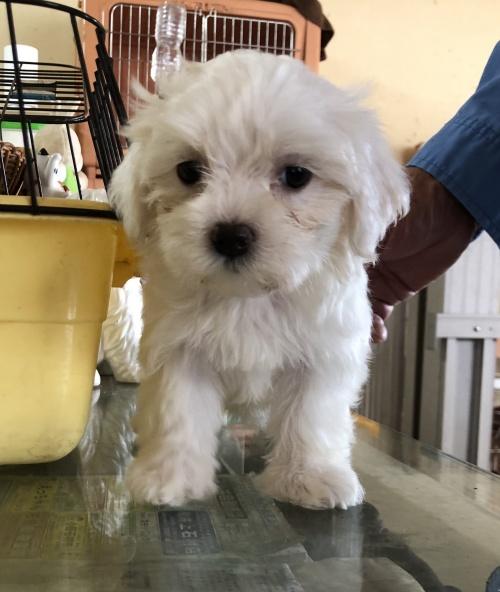 マルチーズの子犬(ID:1271311035)の1枚目の写真/更新日:2018-08-22