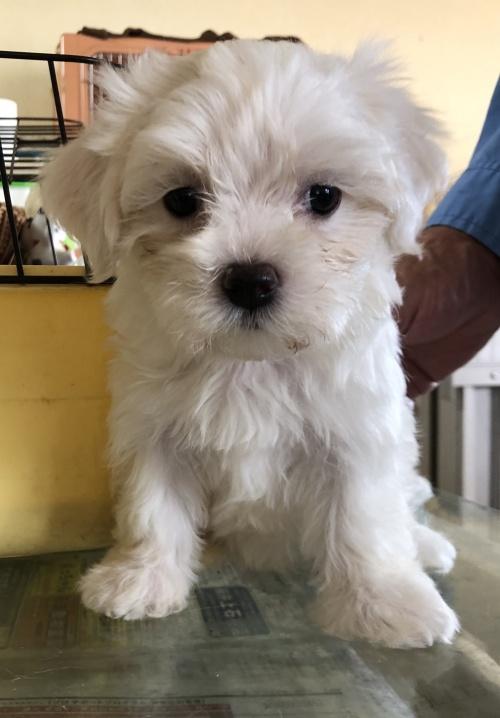 マルチーズの子犬(ID:1271311035)の2枚目の写真/更新日:2018-08-22