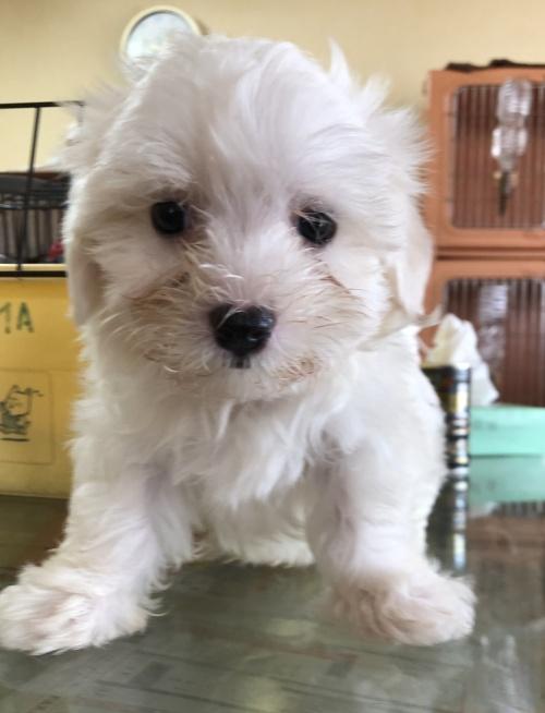マルチーズの子犬(ID:1271311036)の1枚目の写真/更新日:2018-08-22
