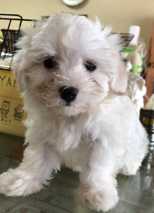 マルチーズの子犬(ID:1271311036)の2枚目の写真/更新日:2018-08-22
