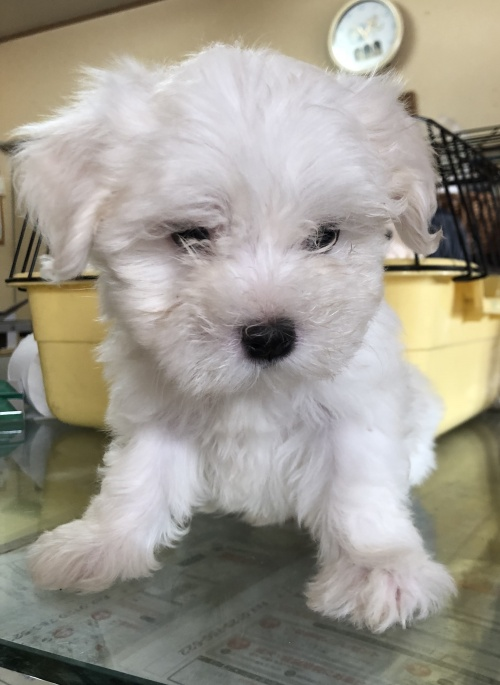 マルチーズの子犬(ID:1271311037)の1枚目の写真/更新日:2018-08-22