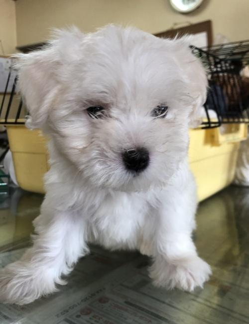 マルチーズの子犬(ID:1271311037)の2枚目の写真/更新日:2018-08-22