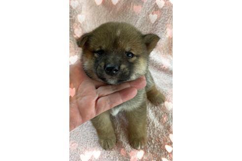 柴犬の子犬(ID:1271311038)の1枚目の写真/更新日:2018-10-22