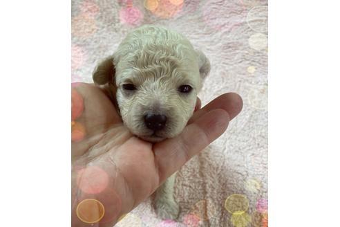 トイプードルの子犬(ID:1271311040)の1枚目の写真/更新日:2021-04-20