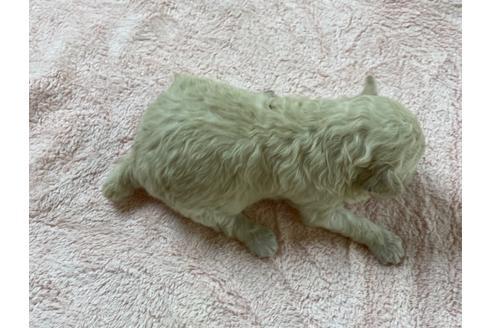 トイプードルの子犬(ID:1271311040)の2枚目の写真/更新日:2021-04-20